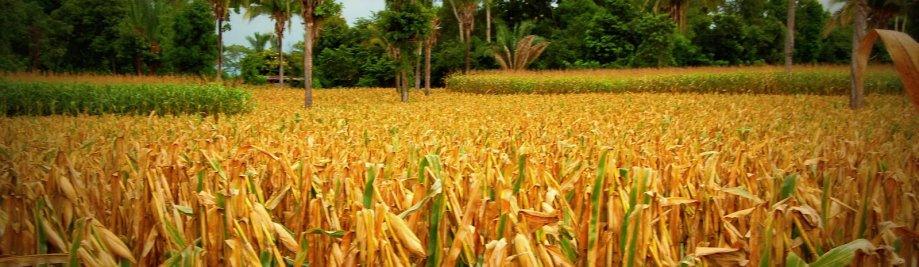 corn_guatemala
