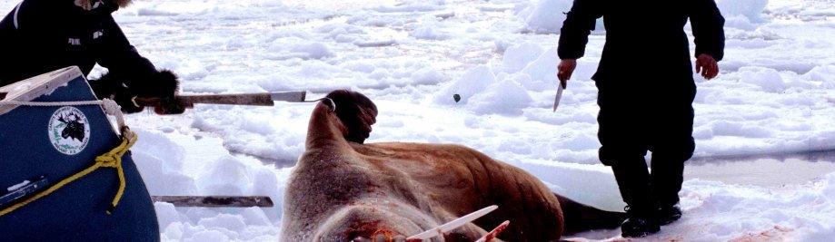 Walrus_1999-03-31