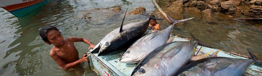 Jacana tonnikalaa lasku. Puerto Princesa, Palawan, Filippiinit. 24 huhtikuu 2009