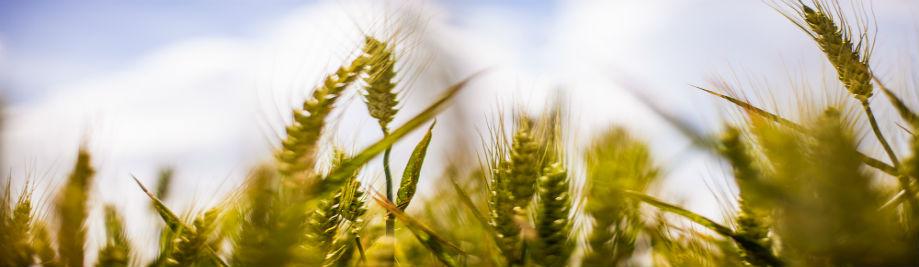 cultius de collita agrícola