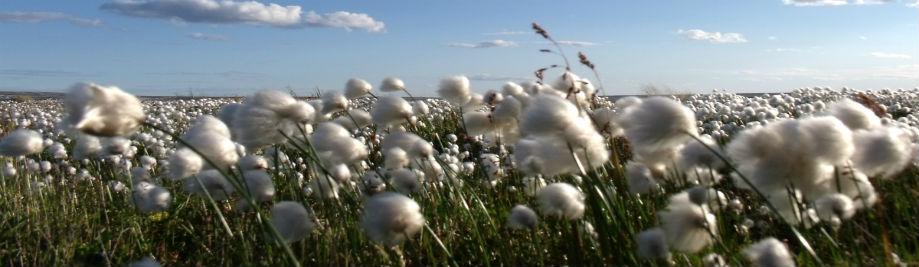 arctic_cotton_at_arviat__hudson_s_bay__nunavut_0