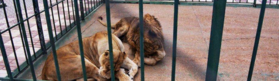zoo-lleons1